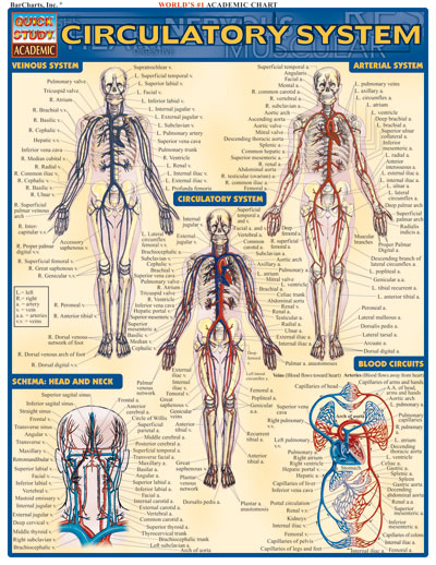 Image For Circulatory System Quickstudy