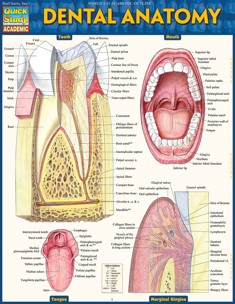 Image For Dental Anatomy Quickstudy
